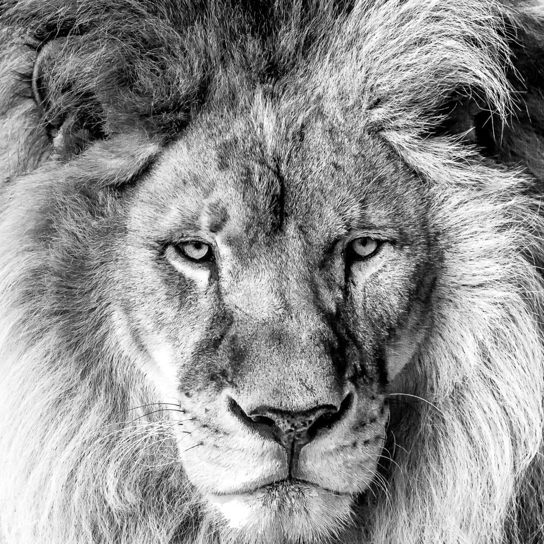 Maxl - Lion face